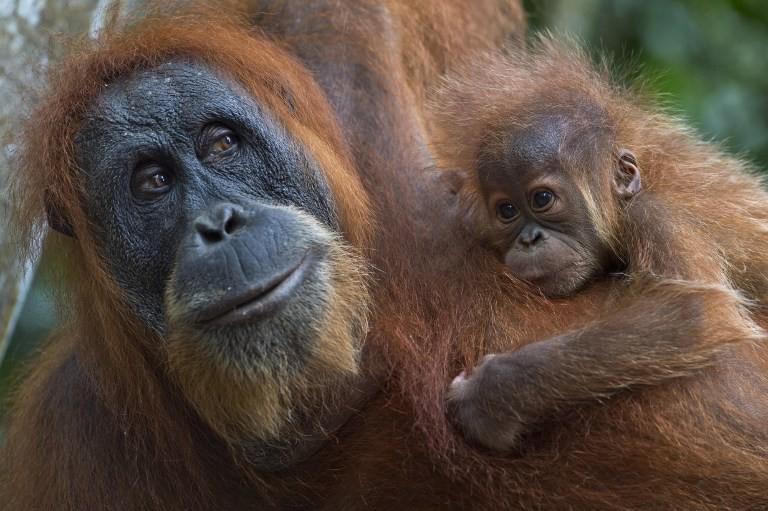 Travel Companies Helping Orangutans