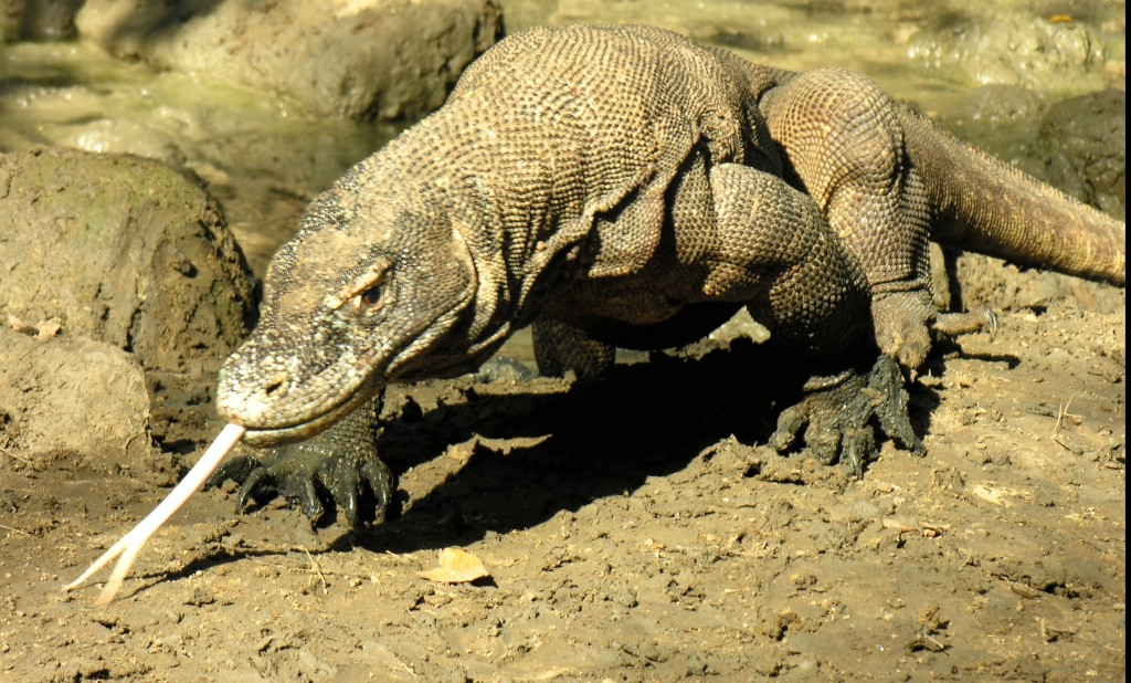 Komodo dragon Komodo island